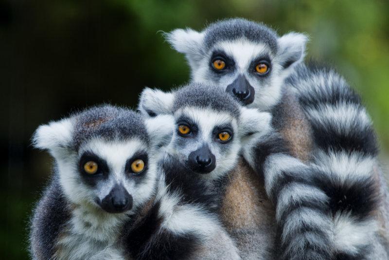 Madagascar Lemur
