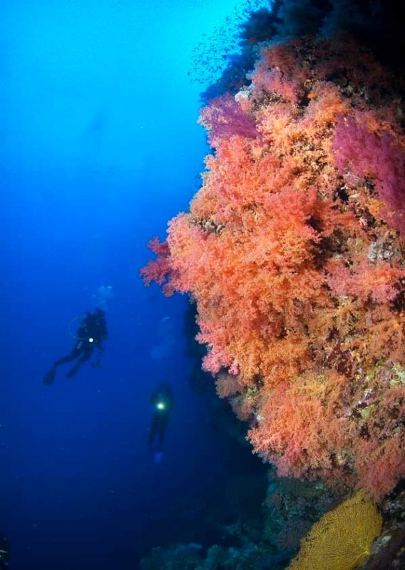 Red Sea Brothers soft coral and divers