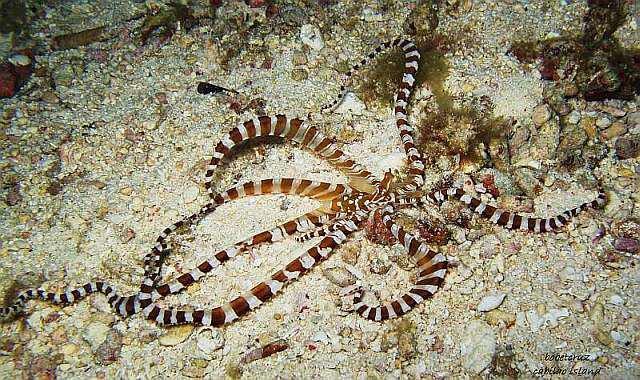 Octopus in Bohol Philippines