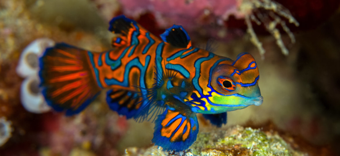 Philippines Mandarinfish or Mandarin dragonet ( Synchiropus splendidus ) is close-up shot , it very small tropical fish vivid color , Sipadan island Borneo . Celebes sea, malaysia